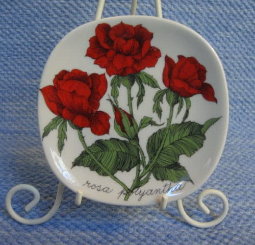 Rosa polyantha